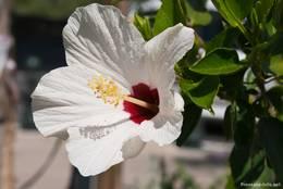Weiß blühender Hibiskus in Bormes-les-Mimosas