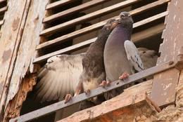 Zwei Tauben an der Kirche des Dorfes