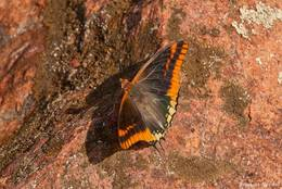 Ein Schmetterling auf einem roten Felsen am Cap Dramont