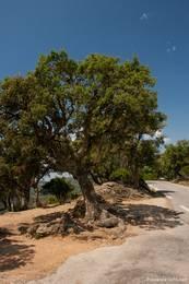 An der Passhöhe des Col du Canadel stehe einige knorrige Bäume wie dieser