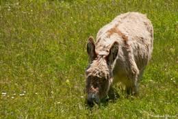 Ein Esel auf einer Wiese bei Trigance