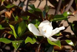 Weiße Blüte an einem Magnolienbaum in der Provence