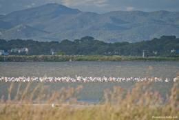 Eine Gruppe Flamingos in der Lagune der Halbinsel Giens