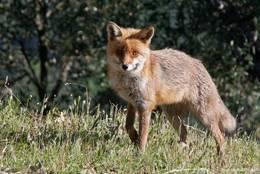 Ein Fuchs in den Bergen des Maurenmassivs