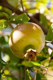Ein Granatapfel an einem Baum in einem Garten in Le Trayas
