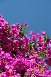 Rosa blühende Bougainvillea, teilweise sind ganze Hausfassaden mit ihr bewachsen