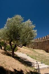 Ein Olivenbaum innerhalb der Burganlage