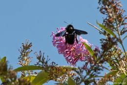Eine Große Holzbiene an der Blüte eines Sommerflieders