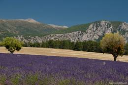 Lavendelfeld mit Bergen im Hintergrund