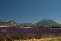 Lavendelfeld am Straßenrand der Lavendelroute