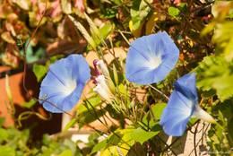 Blaue Blüten einer Kletterpflanze an einem Wohnhaus in Les Mées