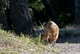 Begegnung mit einem Fuchs im Maurenmassiv circa eine Stunde vor Sonnenuntergang