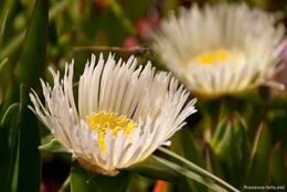 Weiß blühende Mittagsblume an der Côte d'Azur