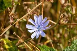 Blaue Blüte einer Wegwarte am Wegrand