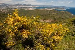 Gelb blühender Busch am Cap Sicié