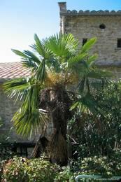 Eine Palme in einem Garten des Ortes