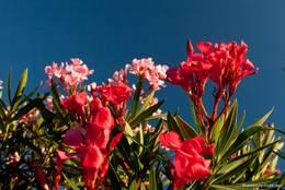 Blühender Oleander am Mittelmeer