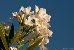 Oleander mit weißer Blüte