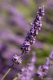 Violette Blüte einer Lavendelpflanze