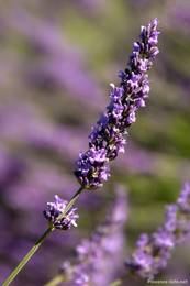 Lavendelblüte auf einem Feld auf dem Plateau de Valensole