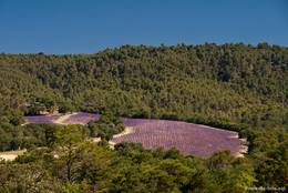 Kleines blühendes Lavendelfeld an einem bewaldeten Hang am Rand des Plateau de Valensole