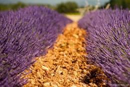 Blick zwischen zwei Reihen blühender Lavendelpflanzen