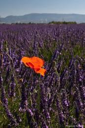 Eine einzelne rote Mohnblüte zwischen vielen violetten Lavendelblüten auf dem Plateau de Valensole