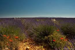 Zwischen dem bis zum Horizont richenden Violett des Lavendels findet man vereinzelt auch ein paar andere Farbtupfer wie diesen rot blühenden Mohn
