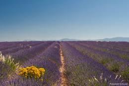 Lavendel so weit das Auge reicht auf dem Plateau de Valensole, dazwischen ein paar gelbe Farbtupfer