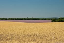 Auch Kornfelder gibt es neben den riesigen Lavendelfeldern auf dem Plateau de Valensole