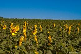 Ein Sonnenblumenfeld auf dem Plateau de Valensole
