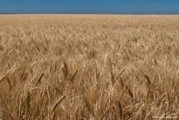 Ein riesiges Kornfeld Ende Juni auf den Plateau