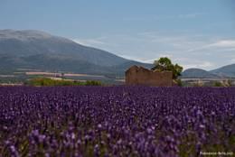 Ein altes Haus zwischen blühendem Lavendel