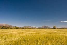 Ein Kornfeld auf dem Plateau de Valensole bei Saint-Jurs