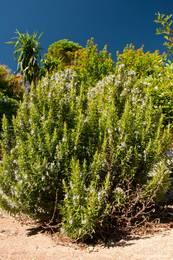 Blühender Rosmarinstrauch in Le Trayas