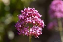 Blüte einer Roten Spornblumen (Centranthus ruber)