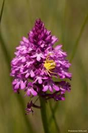 Wilde Orchidee auf einer Wiese im Süden der Provence