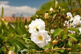 Weiß blühende Rosen in den Straßen von Saint-Paul-en-Forêt