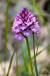 Eine blühende Orchidee in Sainte-Croix-du-Verdon