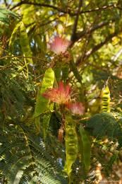 Blühender Seidenbaum (Albizia julibrissin), auch einige Fruchtstände sind schon zu sehen