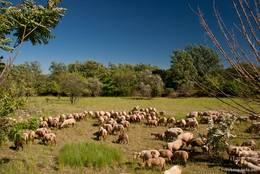 Schafherde auf einer Wiese am Ortsrand von Seillans