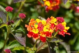 Wandelröschen mit gelb-roter Blüte in der Provence